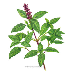 SEEDS: Basil - Sweet Thai - Organic