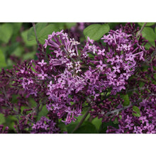 Load image into Gallery viewer, Syringa 'Bloomerang'