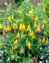 Load image into Gallery viewer, Uvularia grandiflora