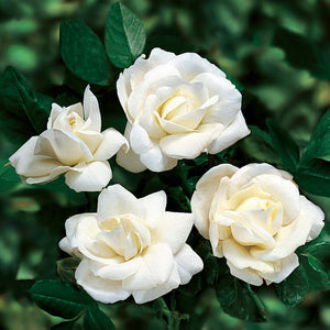 Rosa 'White Dawn' - Climbing Rose