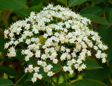 Load image into Gallery viewer, Sambucus can. 'York' - Elderberry