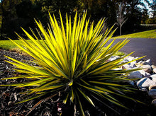 Load image into Gallery viewer, Yucca 'Color Guard'