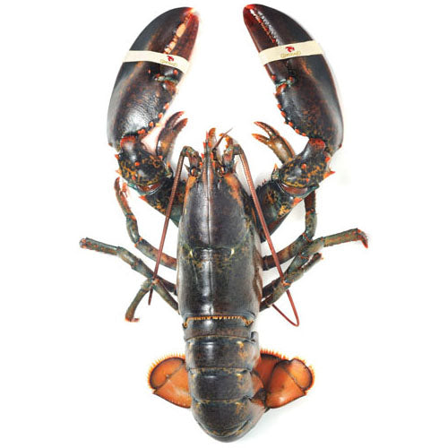 Live Lobsters - DIRECT FROM MAINE! (3 sizes, 1.25lb, 2lb, or 3lb, live)