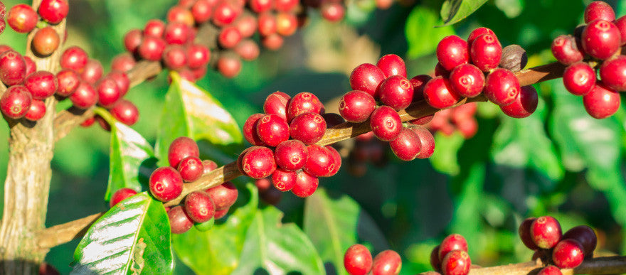 The Coffee Tree: A Remarkable Plant