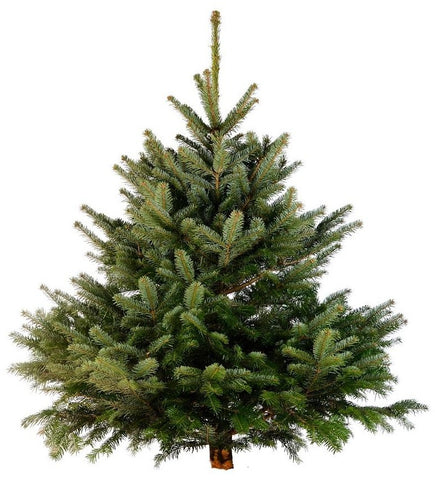Nordmann Fir Retail Trees