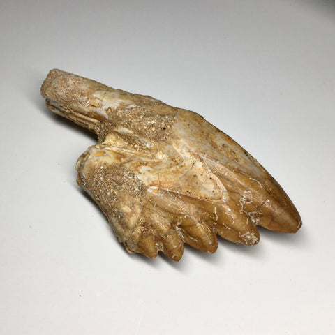 Fossil Whale Tooth