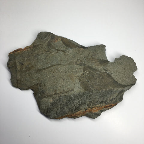 Fossil Leaf Archaeopteris