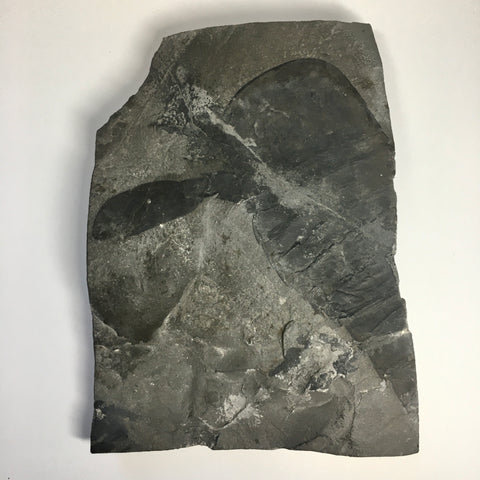 Eurypterus remipes - New York State Fossil