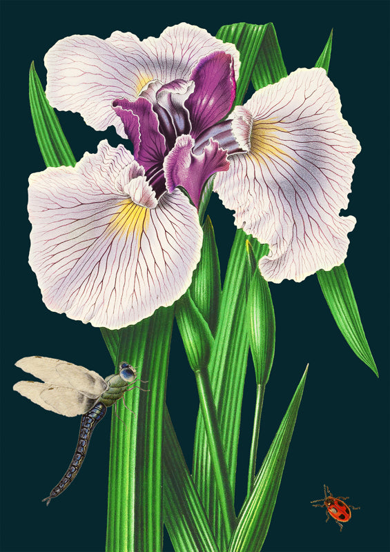'Purple Iris' Greetings Card
