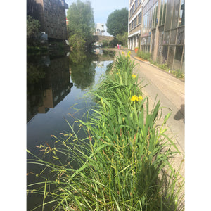 Preplanted coir rolls in a London canal