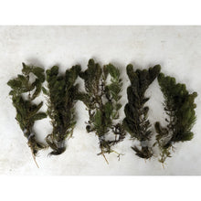 Load image into Gallery viewer, Five bunches of hornwort