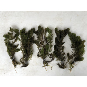 Five bunches of hornwort