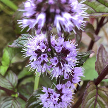 Load image into Gallery viewer, Water mint (Mentha aquatica)