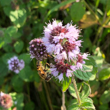 Load image into Gallery viewer, Pond Plant: Mentha aquatica - water mint
