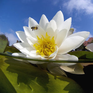 White water lily and honeybee