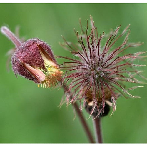 Pond Plant: Geum rivale - water avens