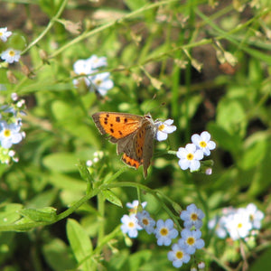 Pond Plant: Myosotis scorpioides - water forget-me-not
