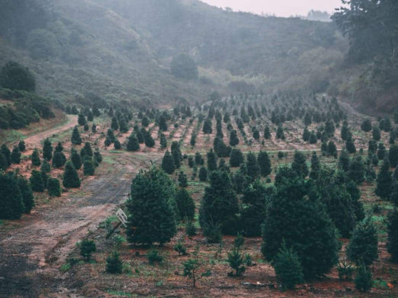 Christmas tree shopping is harder than ever | Schmidt Christmas Market