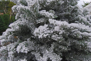 Decorating: How to Flock Your Tree to Give it a Great Snow Kissed Appearance