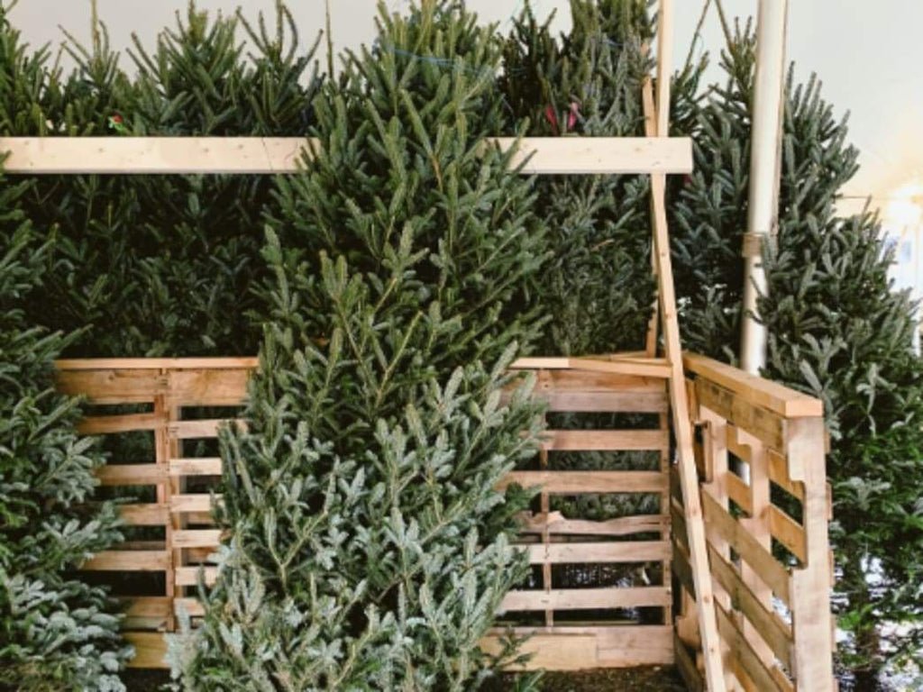 Decorating: Picking out a Christmas Tree