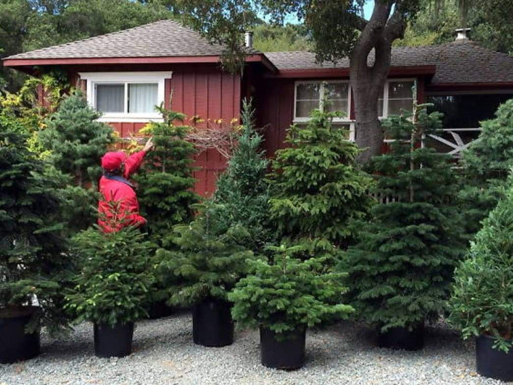 Decorating: Planting Renewable Christmas Trees