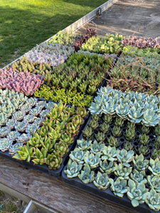 "Pack of 15 - 2""  Premium California Succulents -SHIPS PRIORITY"