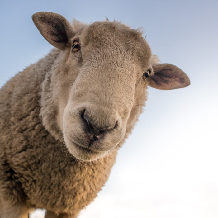 Sheep Rustling – How to keep your flock safe!