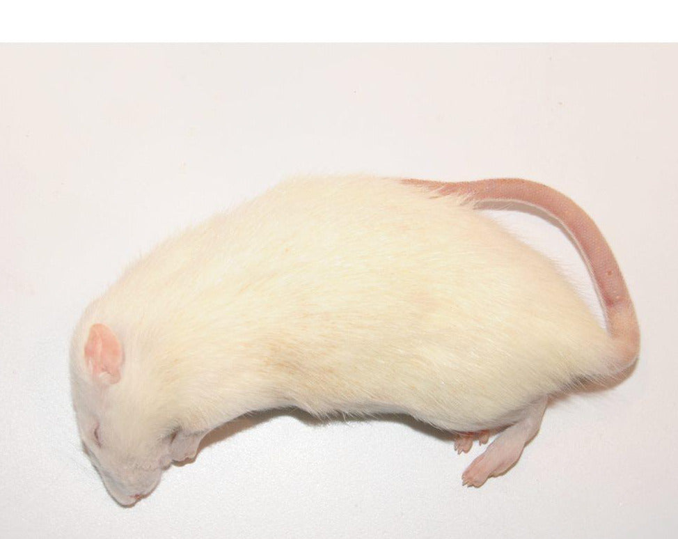 Frozen Rat 250g+ (Jumbo)