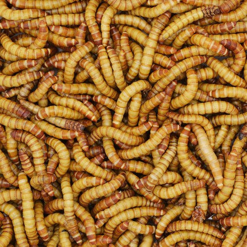 NWZ Giant Mealworms 100ct