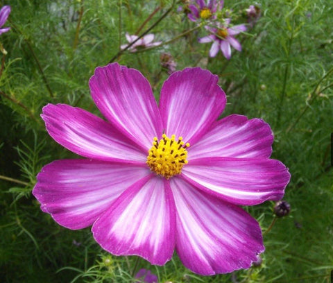Annual - Cosmos Candy Stripe