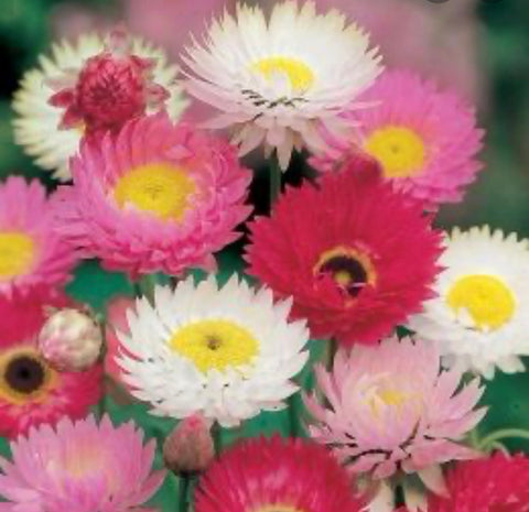 Annual - Acroclinium - double giant strawflower mix
