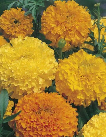 Marigold (African) Crackerjack ( 250 Seeds ) - Johnny Boy