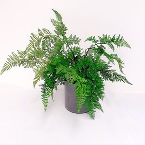 Ming Fern Pot Plant