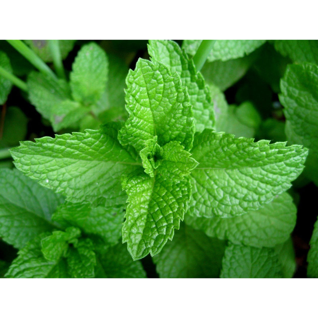 Mint- Per Bunch