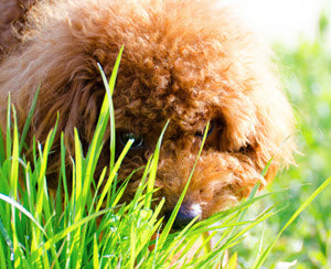 blog-why-dogs-eat-grass.jpg