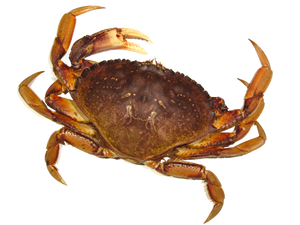LIVE VANCOUVER CRAB
