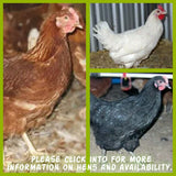 INFORMATION - POINT OF LAY HENS