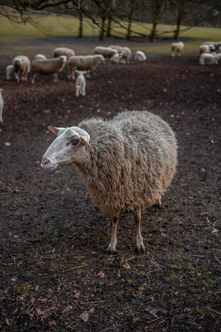 Silly Sheep - Bram Art Photography