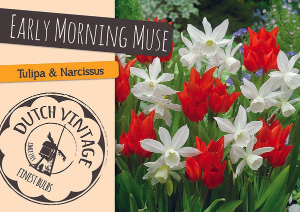 Early Morning Muse Mix - 12PK