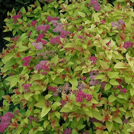 'Magic Carpet' Spirea - 3 GAL