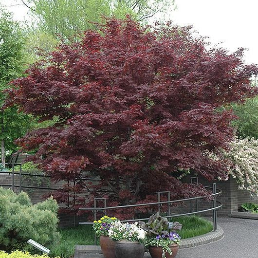 'Bloodgood' Japanese Maple - 4' HVY