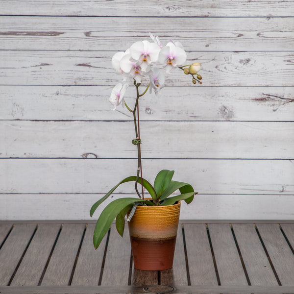 "4.5"" Assorted Orchid in Ceramic Container - Brewpoint Pop-Up Shop"