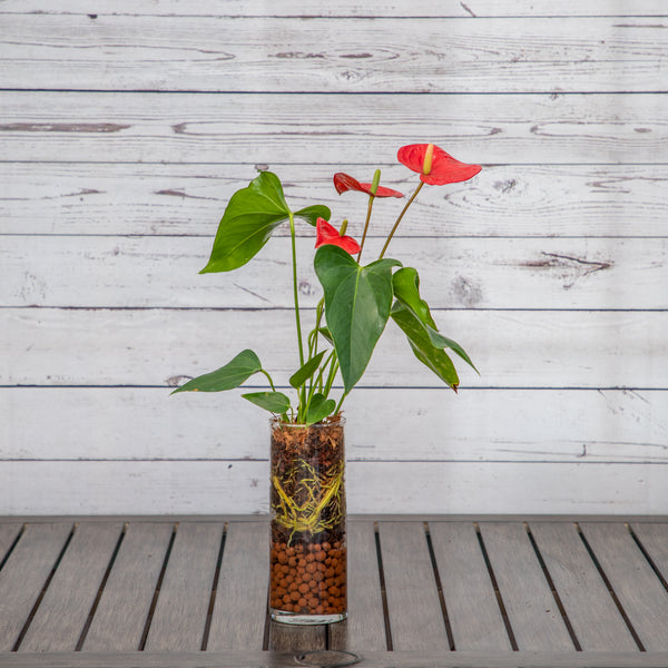 Tropical Anthurium in Decorative Glass Vase - Brewpoint Pop-Up Shop