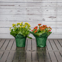 Assorted Kalanchoe in Decorative Pot Cover - Brewpoint Pop-Up Shop