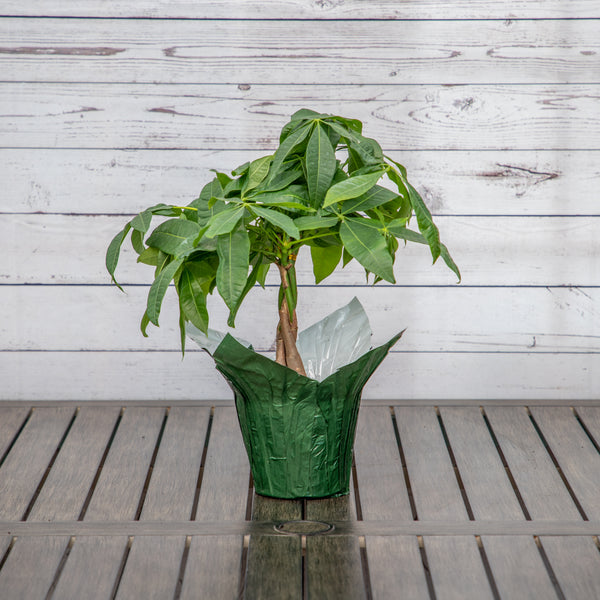 "6"" Pachira or Money Tree - Brewpoint Pop-Up Shop"