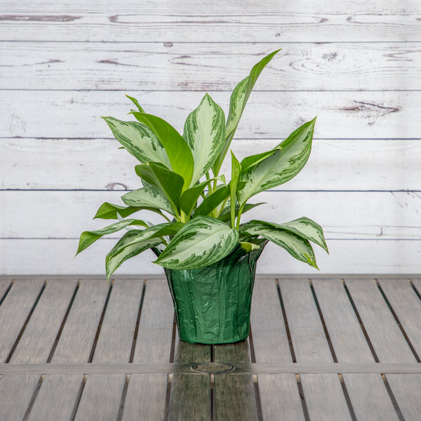 "6"" Aglaonema - Brewpoint Pop-Up Shop"