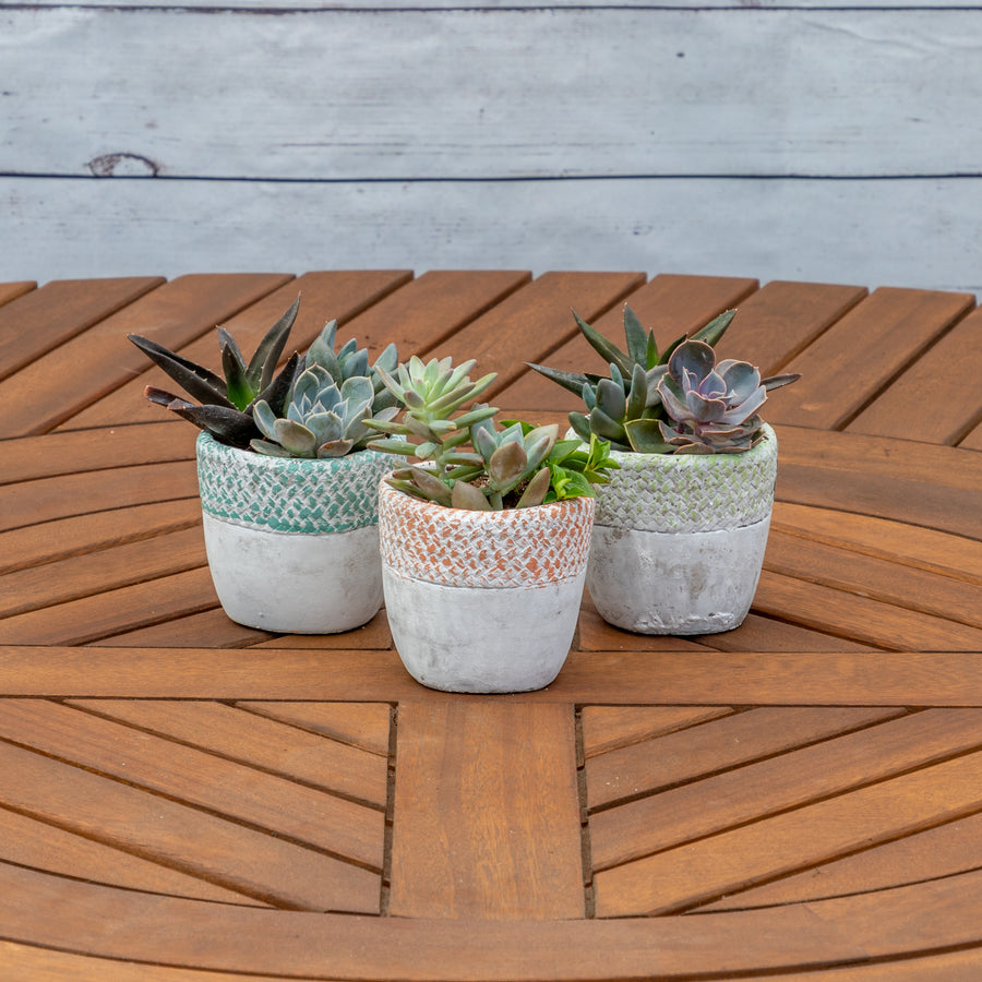 "4"" Mixed Succulent Dish Garden In Basket Weave Concrete Container - Brewpoint Pop-Up Shop"
