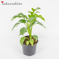 Mini Monstera 'Ginny' - Indoorables
