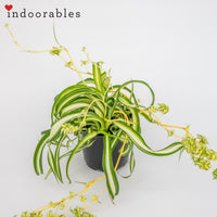 Bonnie' Spider Plant - Indoorables