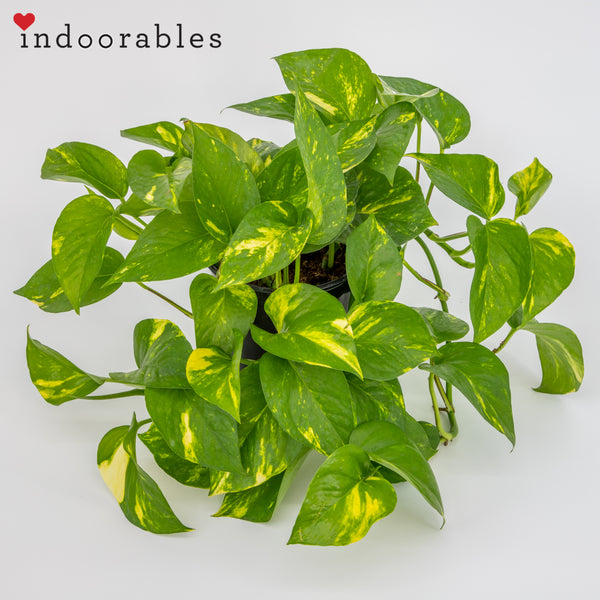 Gold Pothos - Indoorables